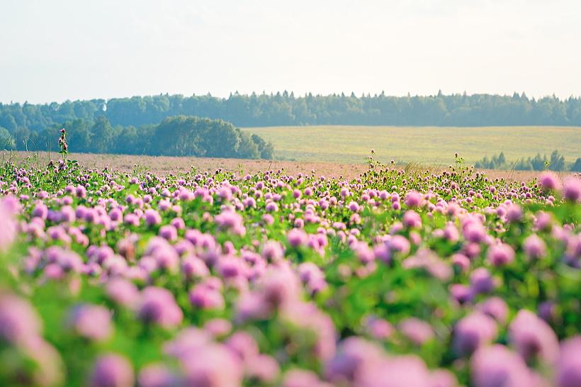 クローバー畑